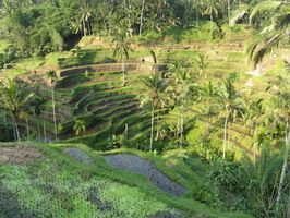 Tegalang Rice terrace1