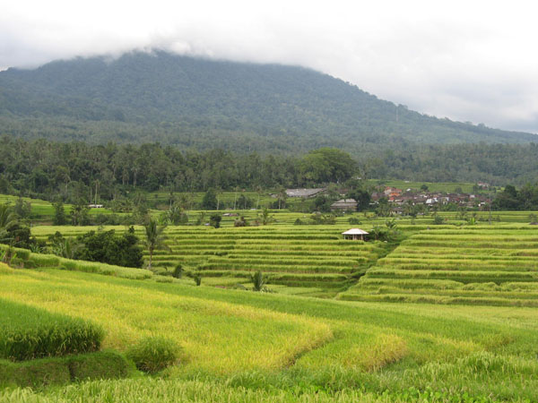 Jatiluih rice terrace1