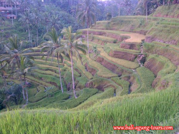Rice terrace in Bali island